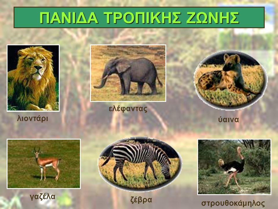 ΠΑΝΙΔΑ ΤΡΟΠΙΚΗΣ ΖΩΝΗΣ ελέφαντας λιοντάρι ύαινα γαζέλα ζέβρα