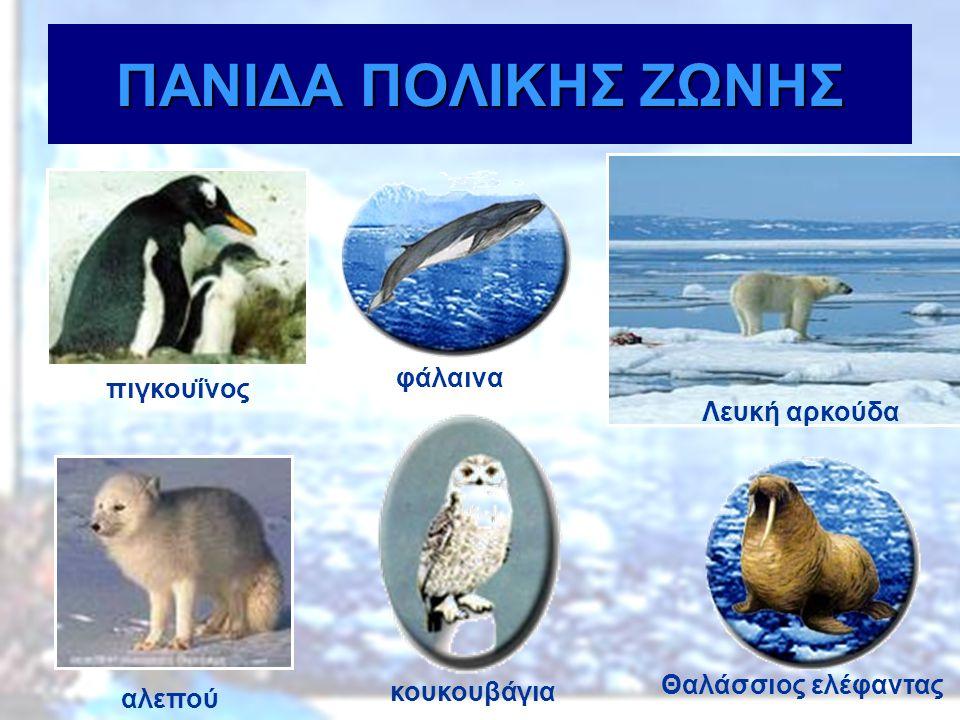 ΠΑΝΙΔΑ ΠΟΛΙΚΗΣ ΖΩΝΗΣ φάλαινα πιγκουΐνος Λευκή αρκούδα