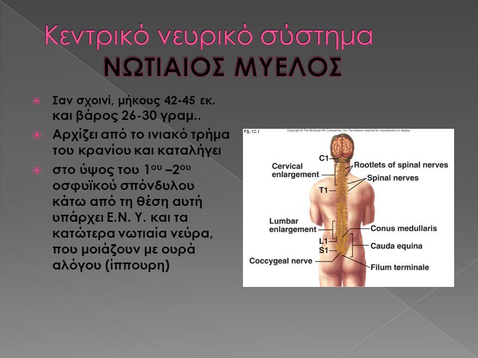 Κεντρικό νευρικό σύστημα ΝΩΤΙΑΙΟΣ ΜΥΕΛΟΣ