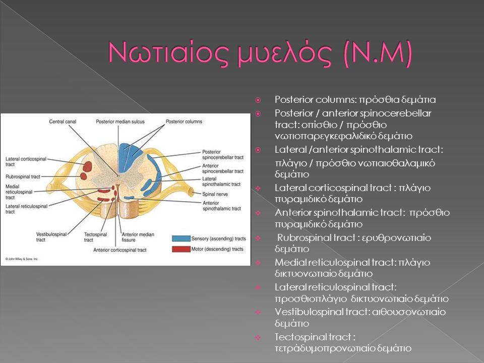 Νωτιαίος μυελός (Ν.Μ) Posterior columns: πρόσθια δεμάτια