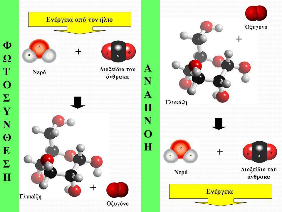 ΦΩΤΟΣΥΝΘΕ ΣΗ ΑΝΑΠΝΟΗ + + + + Ενέργεια από τον ήλιο Ενέργεια Οξυγόνο