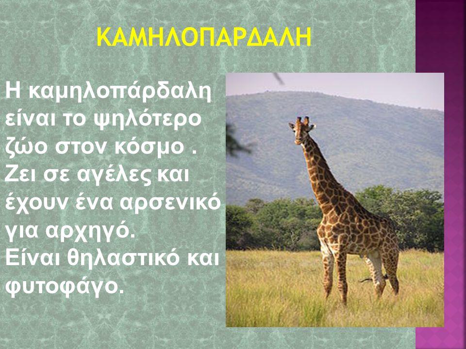 ΚΑΜΗΛΟΠΑΡΔΑΛΗ Η καμηλοπάρδαλη είναι το ψηλότερο ζώο στον κόσμο . Ζει σε αγέλες και έχουν ένα αρσενικό για αρχηγό.