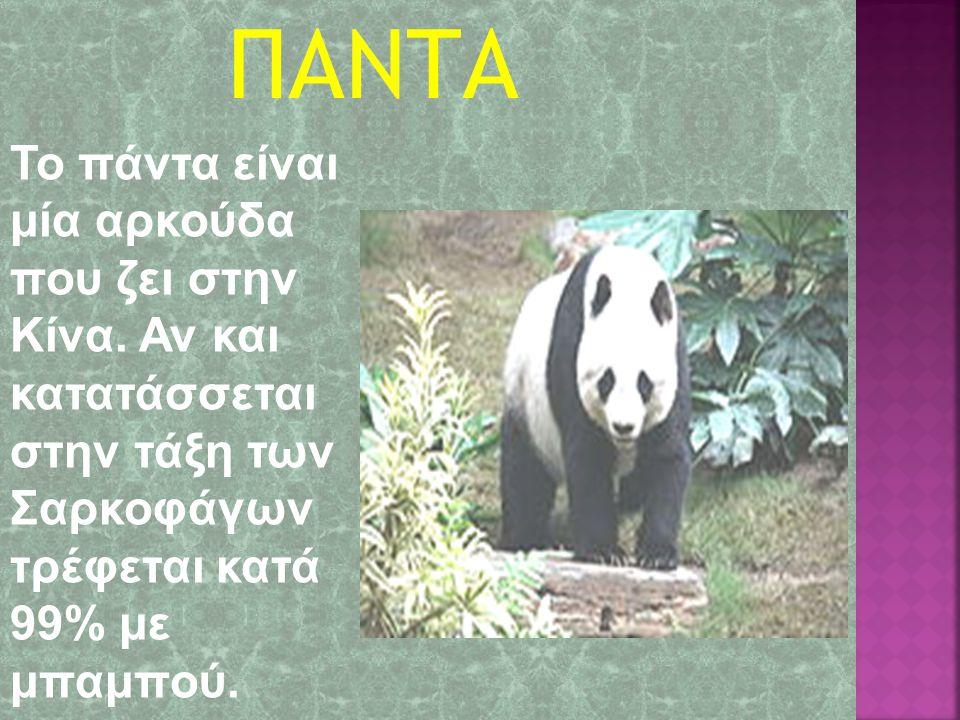 ΠΑΝΤΑ Το πάντα είναι μία αρκούδα που ζει στην Κίνα.