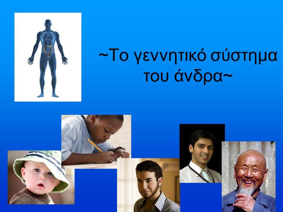 ~Το γεννητικό σύστημα του άνδρα~