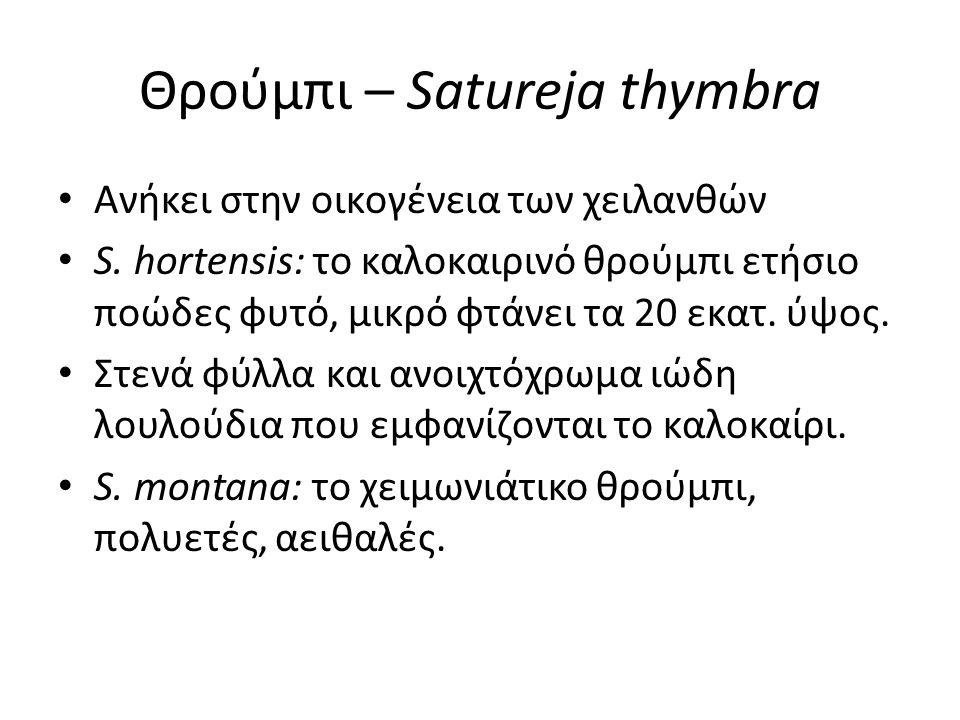 Θρούμπι – Satureja thymbra