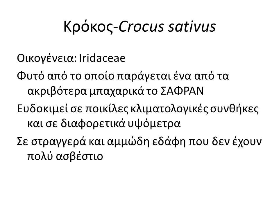 Κρόκος-Crocus sativus