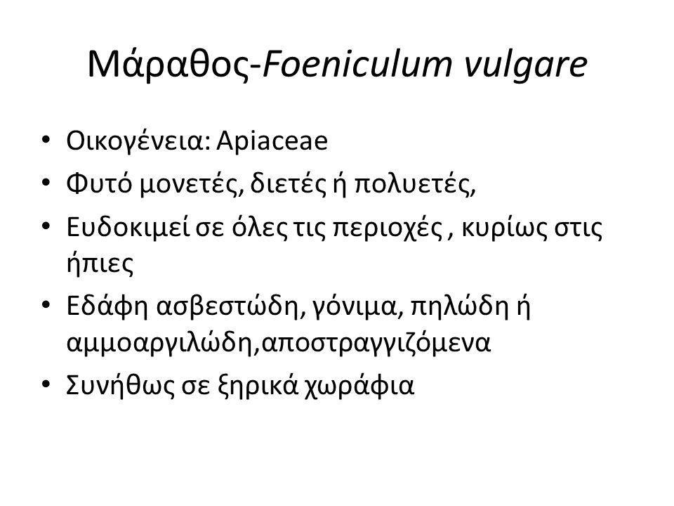 Μάραθος-Foeniculum vulgare