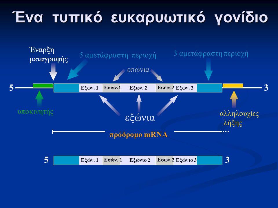 Ένα τυπικό ευκαρυωτικό γονίδιο