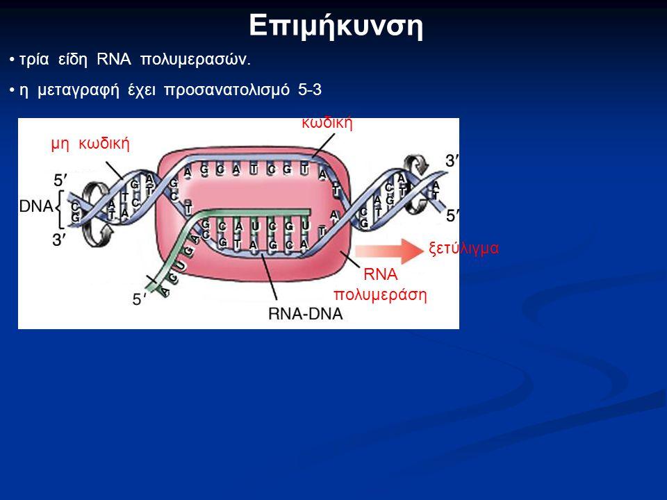Επιμήκυνση τρία είδη RNA πολυμερασών.