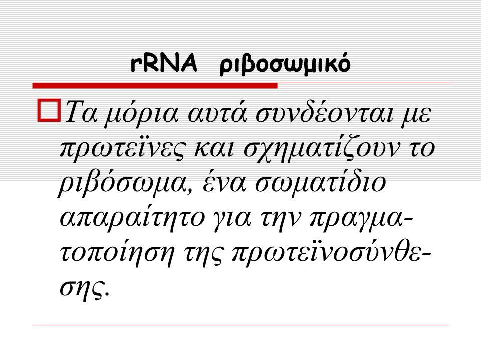 rRNA ριβοσωμικό