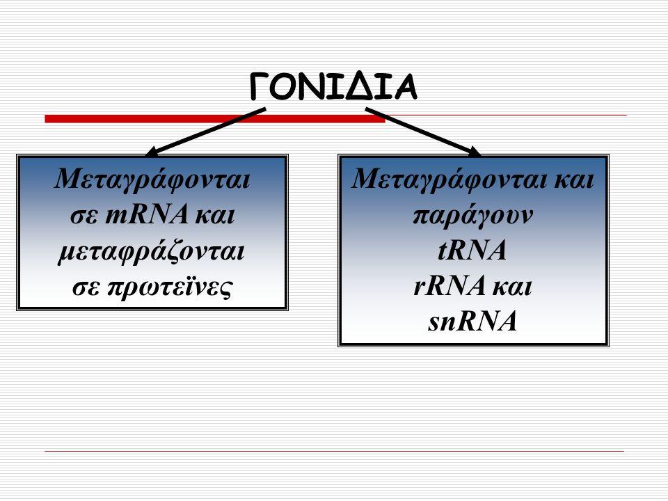 σε mRNA και μεταφράζονται Μεταγράφονται και παράγουν