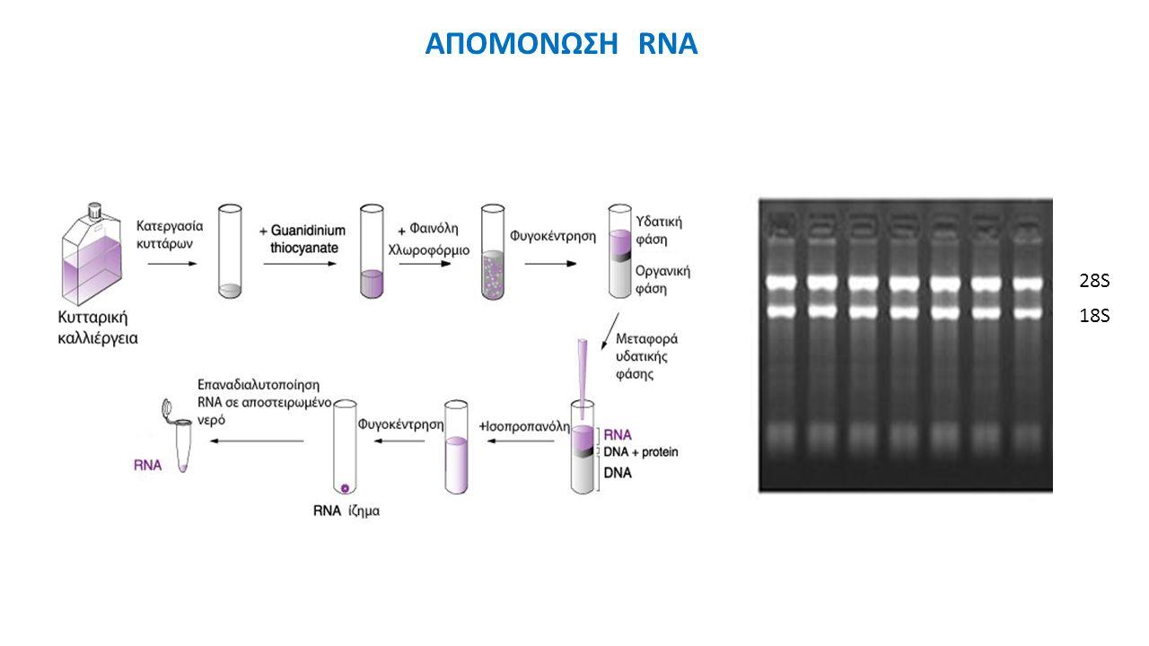 ΑΠΟΜΟΝΩΣΗ RNA 28S 18S