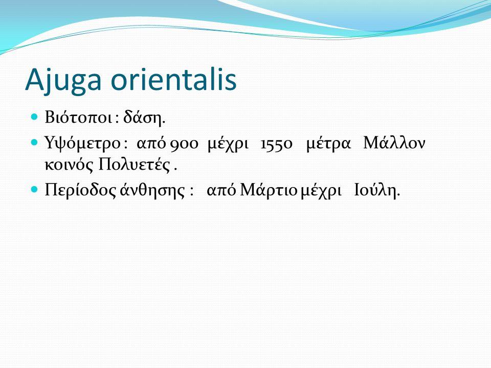 Ajuga orientalis Βιότοποι : δάση.