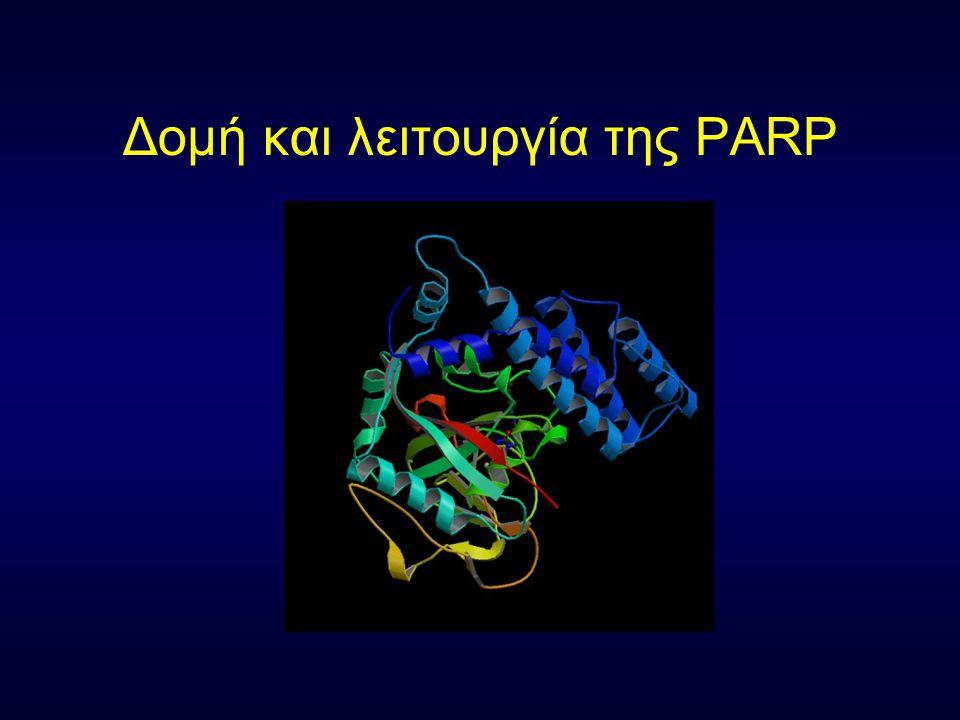 Δομή και λειτουργία της PARP