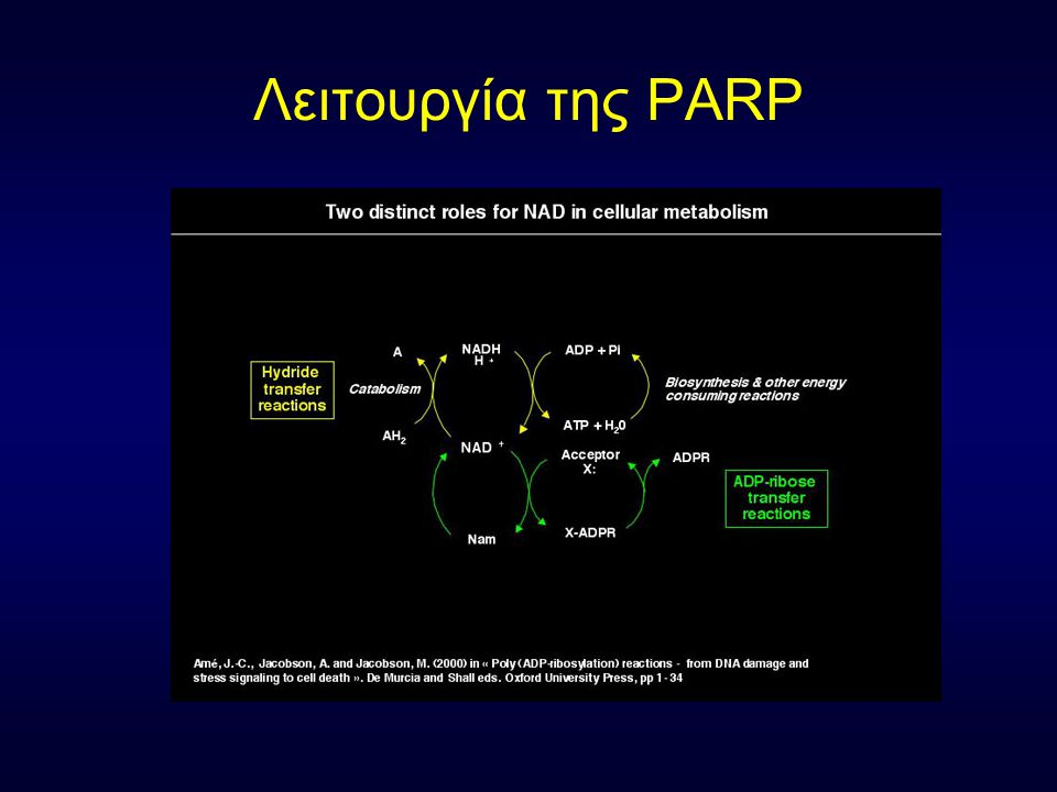 Λειτουργία της PARP