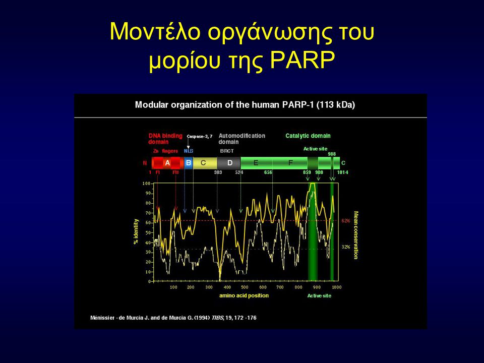 Μοντέλο οργάνωσης του μορίου της PARP