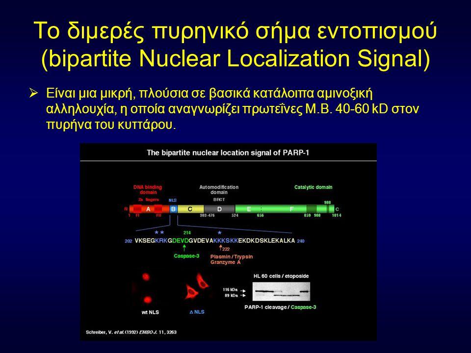 Το διμερές πυρηνικό σήμα εντοπισμού (bipartite Nuclear Localization Signal)