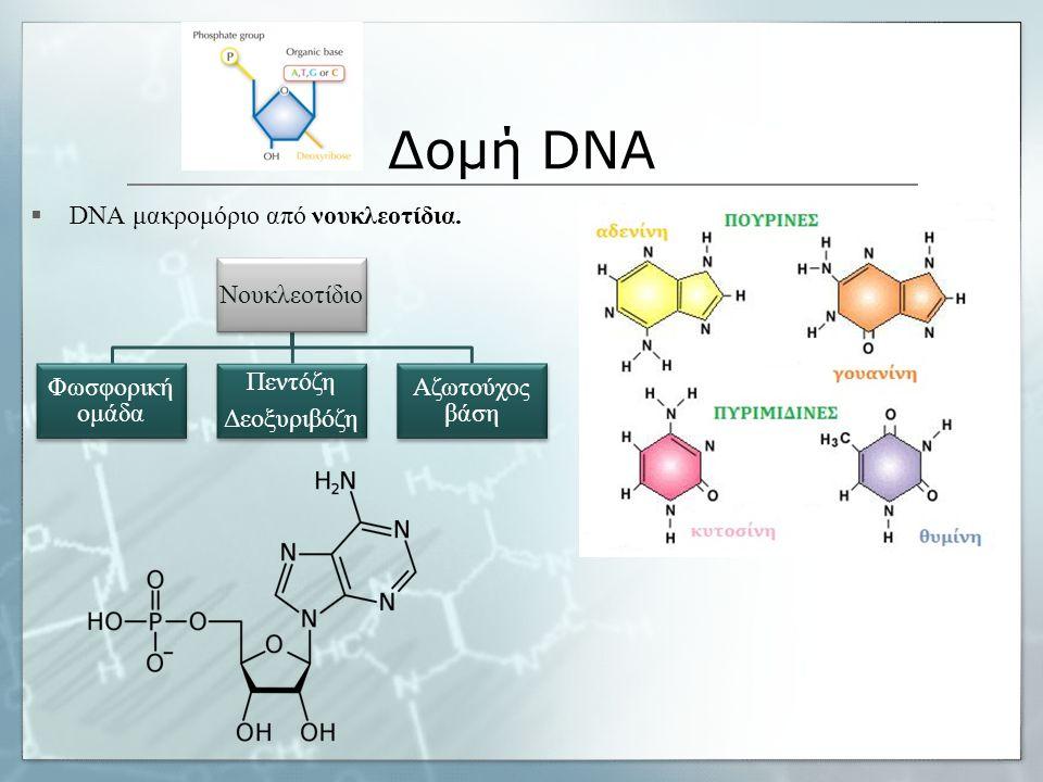 Δομή DNA Νουκλεοτίδιο Φωσφορική ομάδα Πεντόζη Δεοξυριβόζη