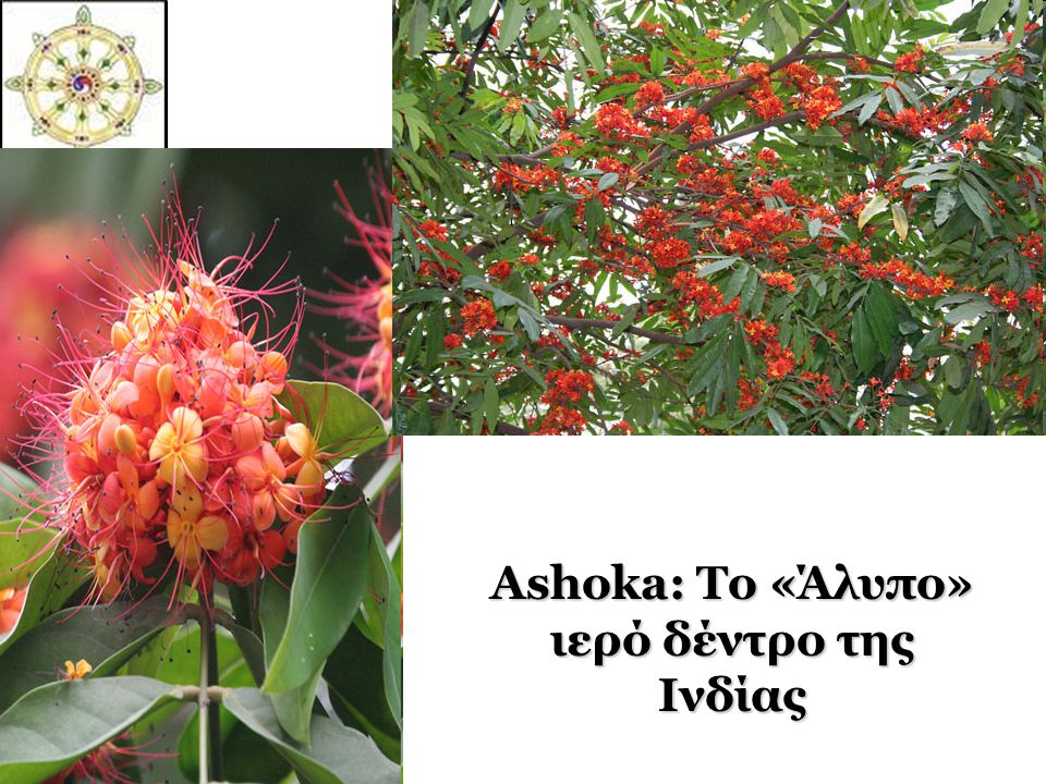 Ashoka: Το «Άλυπο» ιερό δέντρο της Ινδίας