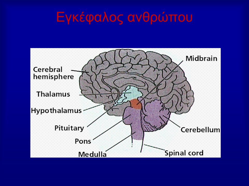 Εγκέφαλος ανθρώπου