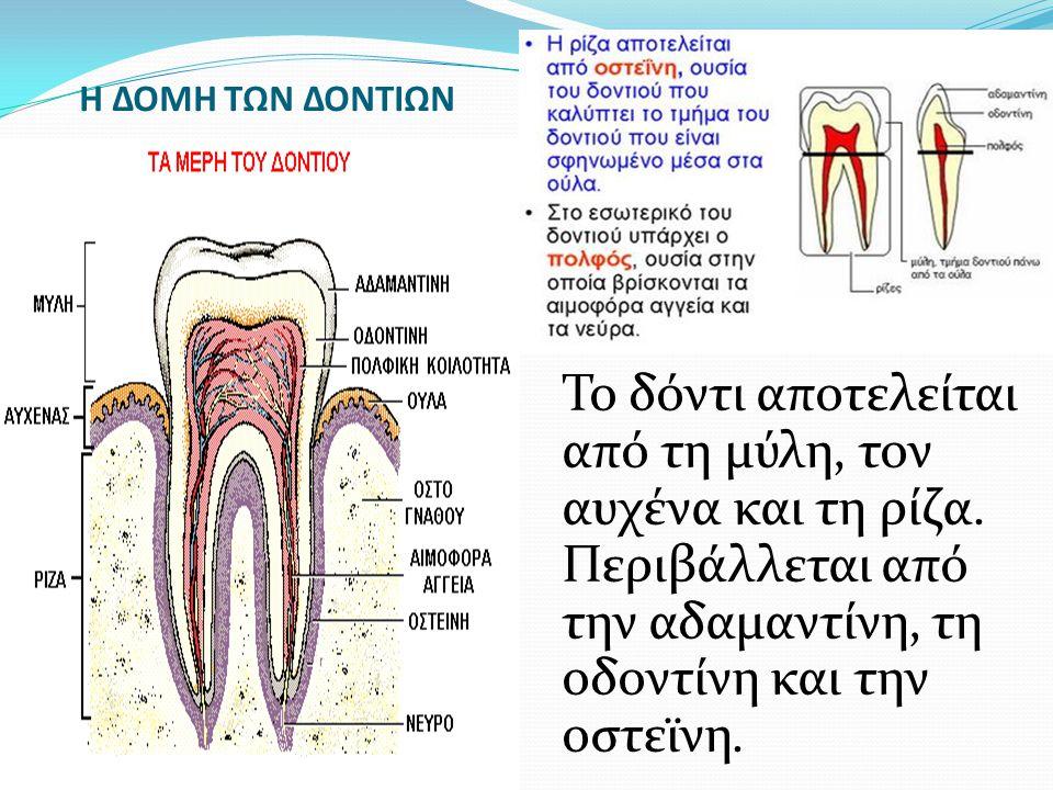 Η ΔΟΜΗ ΤΩΝ ΔΟΝΤΙΩΝ Το δόντι αποτελείται από τη μύλη, τον αυχένα και τη ρίζα.