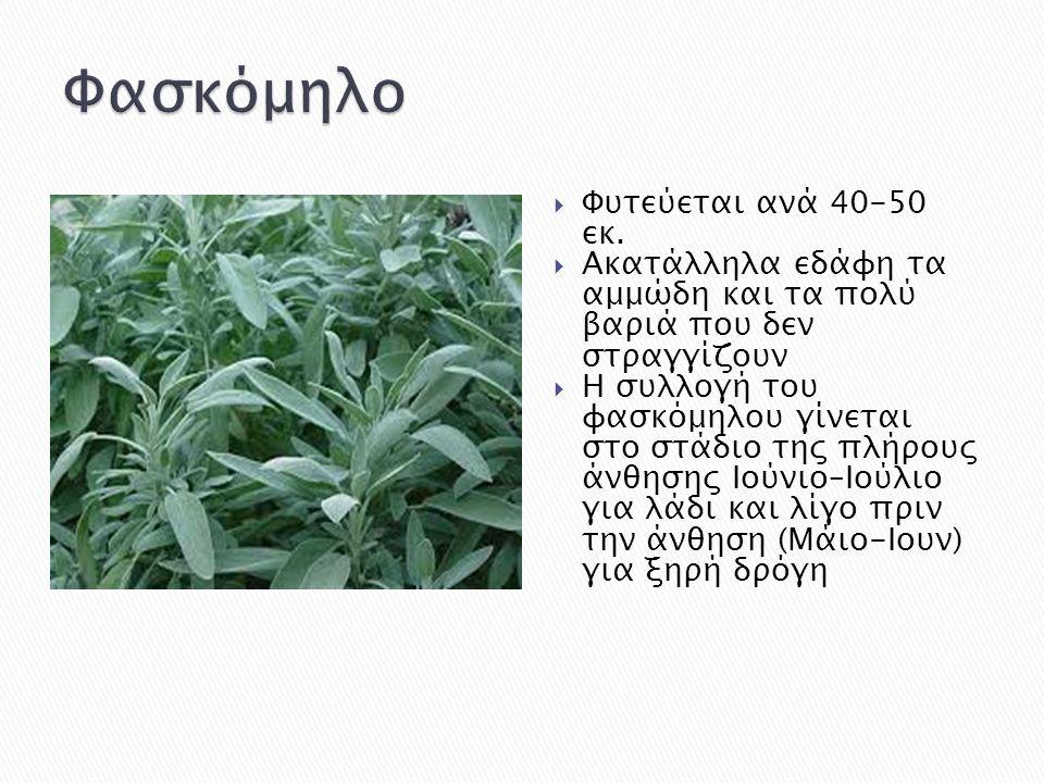 Φασκόμηλο Φυτεύεται ανά 40-50 εκ.