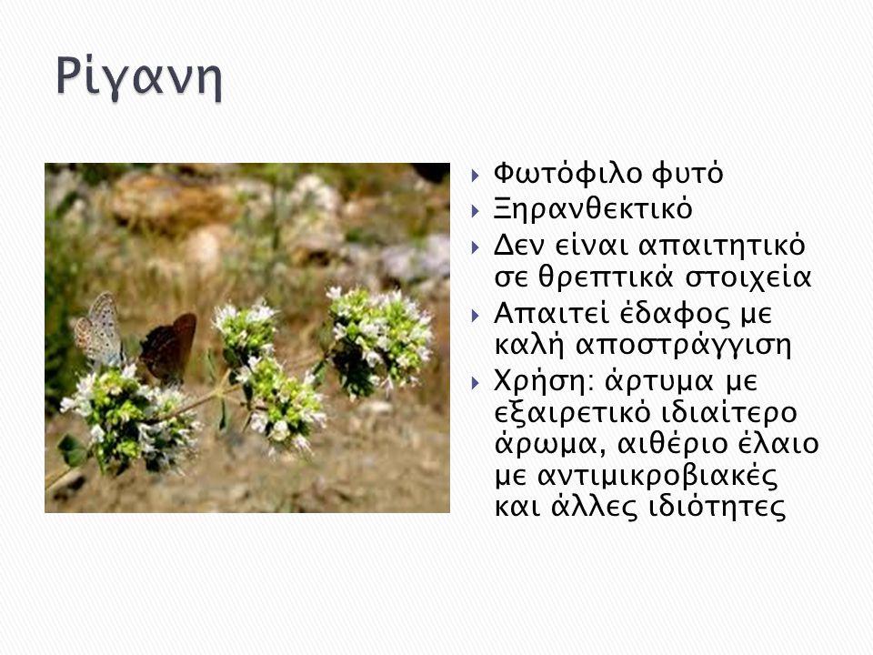 Ρίγανη Φωτόφιλο φυτό Ξηρανθεκτικό