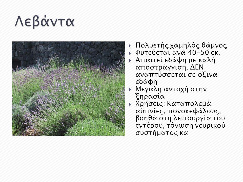 Λεβάντα Πολυετής χαμηλός θάμνος Φυτεύεται ανά 40-50 εκ.