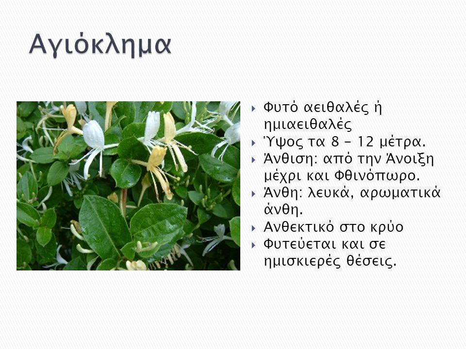 Αγιόκλημα Φυτό αειθαλές ή ημιαειθαλές Ύψος τα 8 - 12 μέτρα.