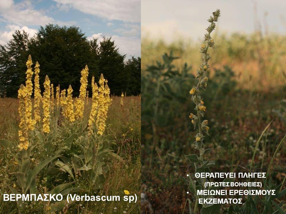 ΒΕΡΜΠΑΣΚΟ (Verbascum sp)