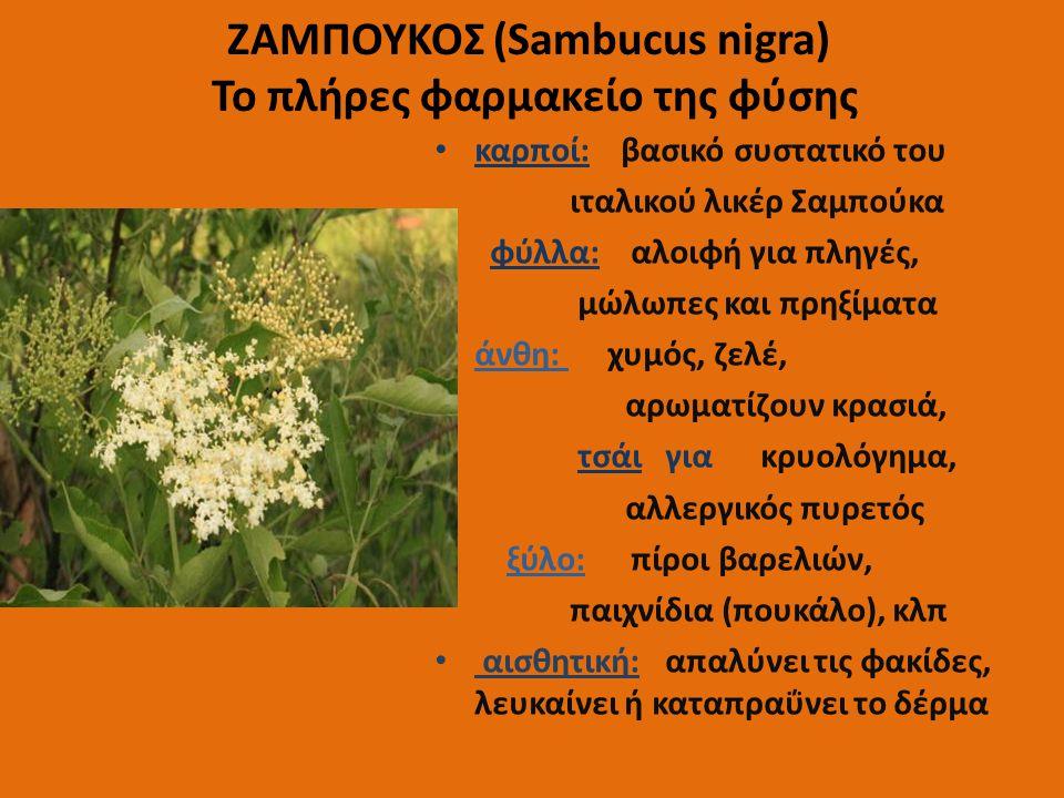 ΖΑΜΠΟΥΚΟΣ (Sambucus nigra) Το πλήρες φαρμακείο της φύσης