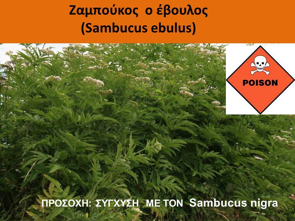 Ζαμπούκος ο έβουλος (Sambucus ebulus)