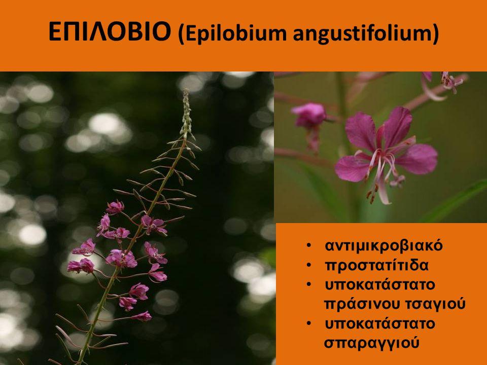 ΕΠΙΛΟΒΙΟ (Epilobium angustifolium)