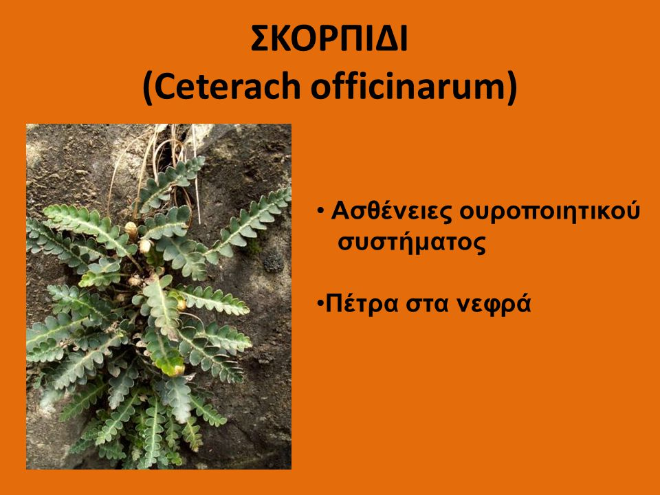 ΣΚΟΡΠΙΔΙ (Ceterach officinarum)