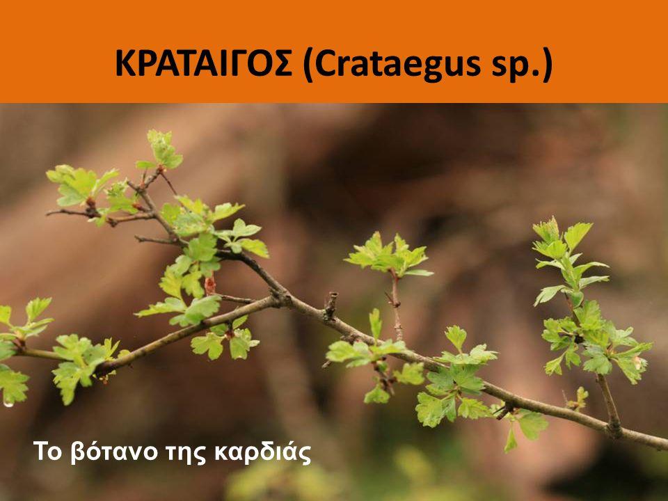 ΚΡΑΤΑΙΓΟΣ (Crataegus sp.)