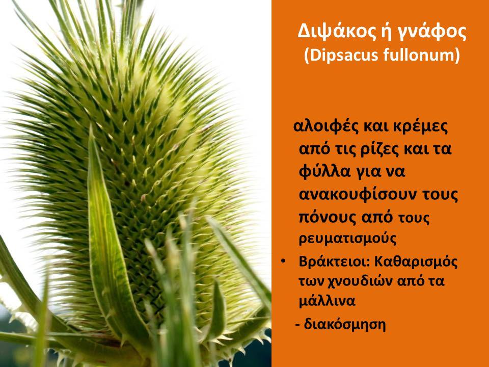 Διψάκος ή γνάφος (Dipsacus fullonum)