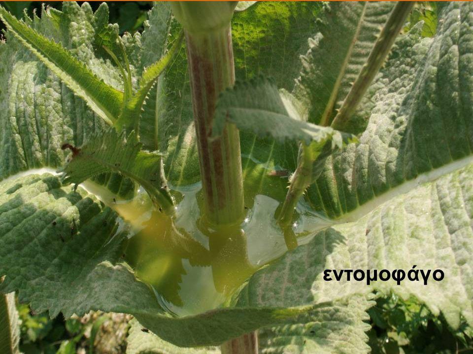 εντομοφάγο
