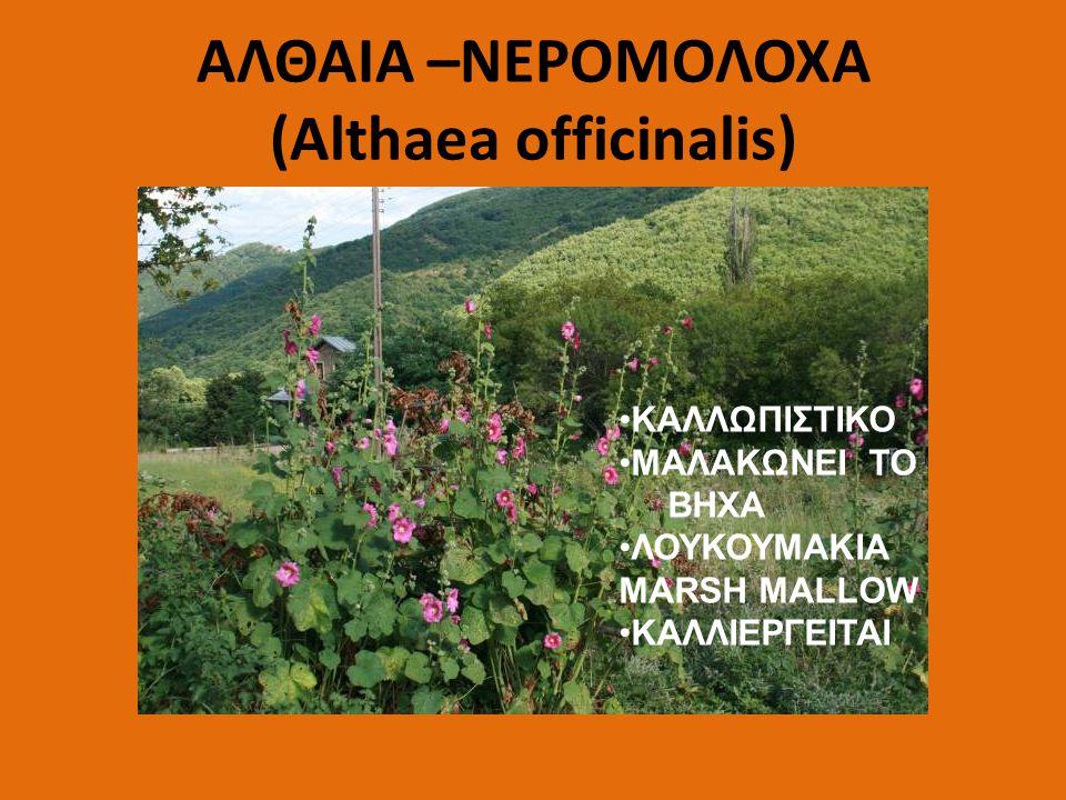 ΑΛΘΑΙΑ –ΝΕΡΟΜΟΛΟΧΑ (Althaea officinalis)