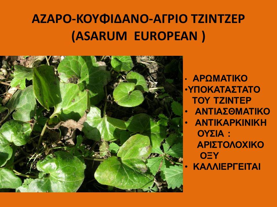ΑΖΑΡΟ-ΚΟΥΦΙΔΑΝΟ-ΑΓΡΙΟ ΤΖΙΝΤΖΕΡ (ASARUM EUROPEAN )