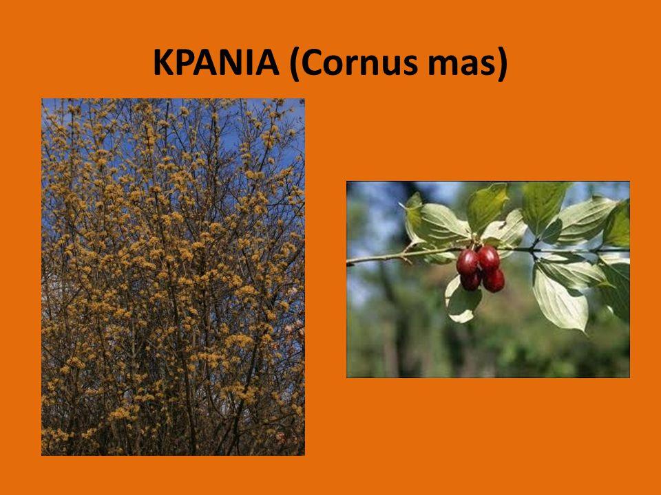 ΚΡΑΝΙΑ (Cornus mas)