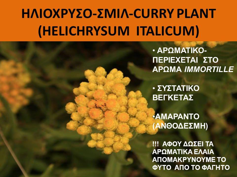 ΗΛΙΟΧΡΥΣΟ-ΣΜΙΛ-CURRY PLANT (HELICHRYSUM ITALICUM)