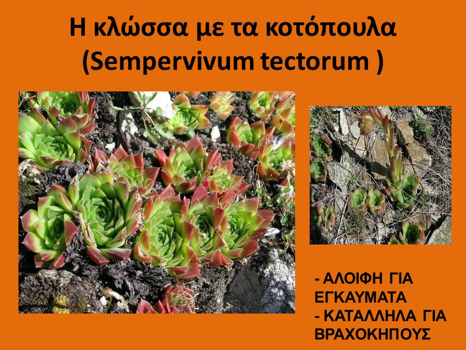 H κλώσσα με τα κοτόπουλα (Sempervivum tectorum )