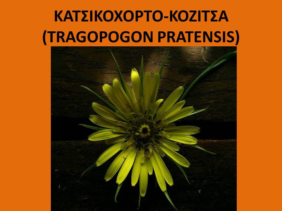 ΚΑΤΣΙΚΟΧΟΡΤΟ-ΚΟΖΙΤΣΑ (TRAGOPOGON PRATENSIS)