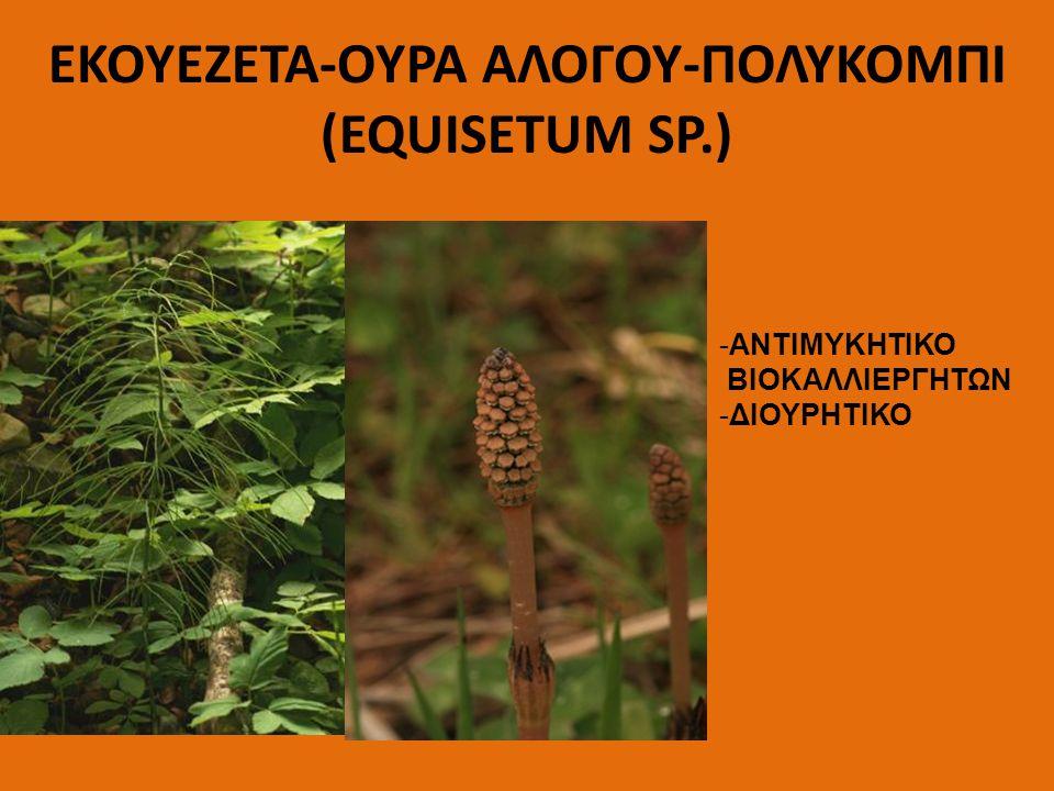 ΕΚΟΥΕΖΕΤΑ-ΟΥΡΑ ΑΛΟΓΟΥ-ΠΟΛΥΚΟΜΠΙ (EQUISETUM SP.)
