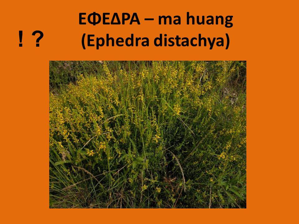 ΕΦΕΔΡΑ – ma huang (Ephedra distachya)