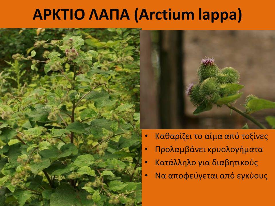 ΑΡΚΤΙΟ ΛΑΠΑ (Arctium lappa)