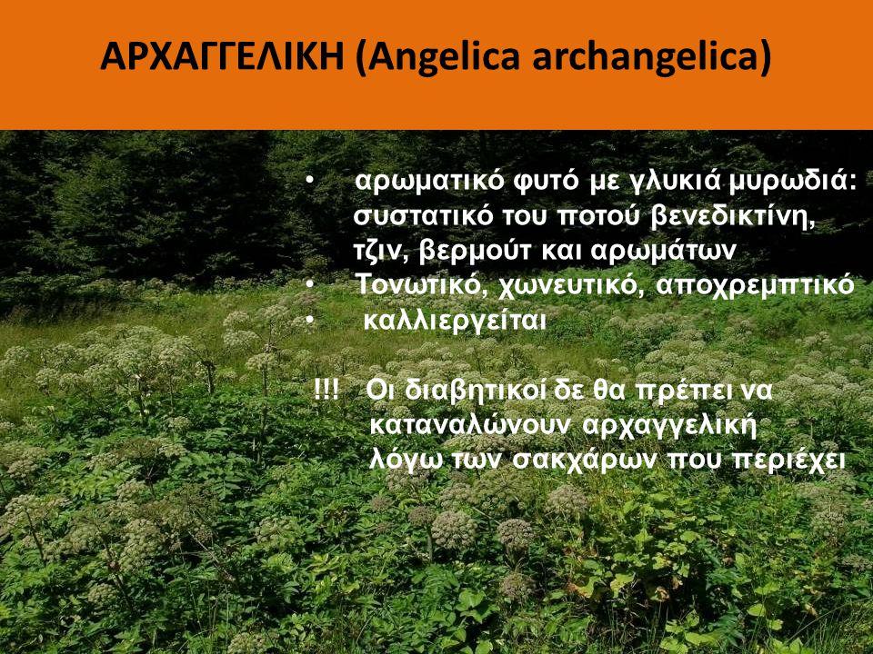 ΑΡΧΑΓΓΕΛΙΚΗ (Angelica archangelica)
