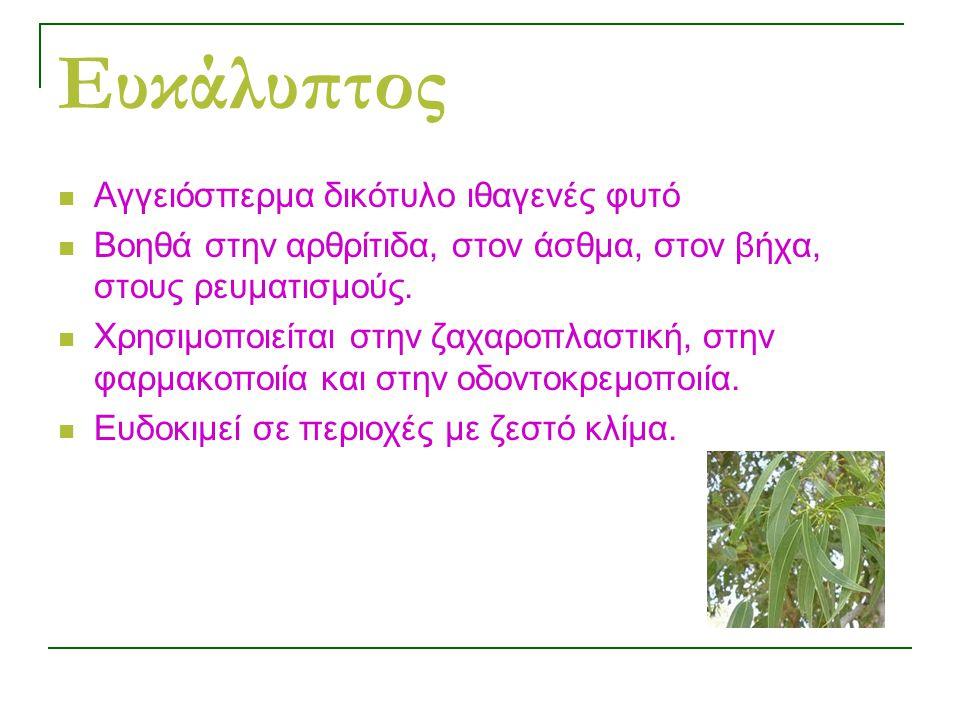 Ευκάλυπτος Αγγειόσπερμα δικότυλο ιθαγενές φυτό