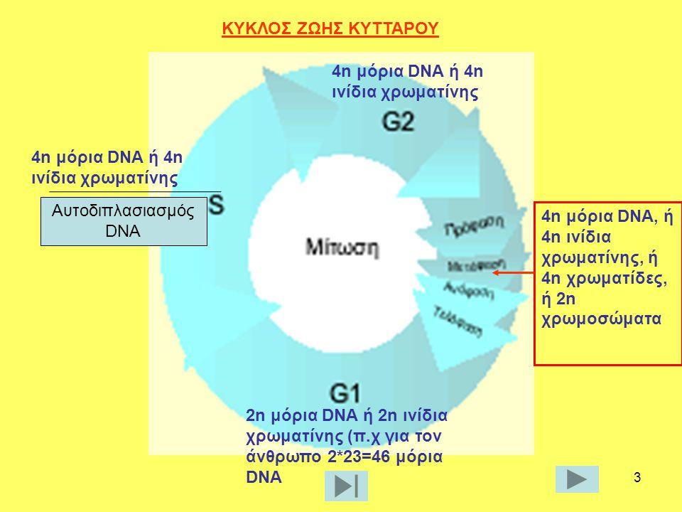 ΚΥΚΛΟΣ ΖΩΗΣ ΚΥΤΤΑΡΟΥ Αυτοδιπλασιασμός DNA. 4n μόρια DNA ή 4n ινίδια χρωματίνης. 4n μόρια DNA ή 4n ινίδια χρωματίνης.