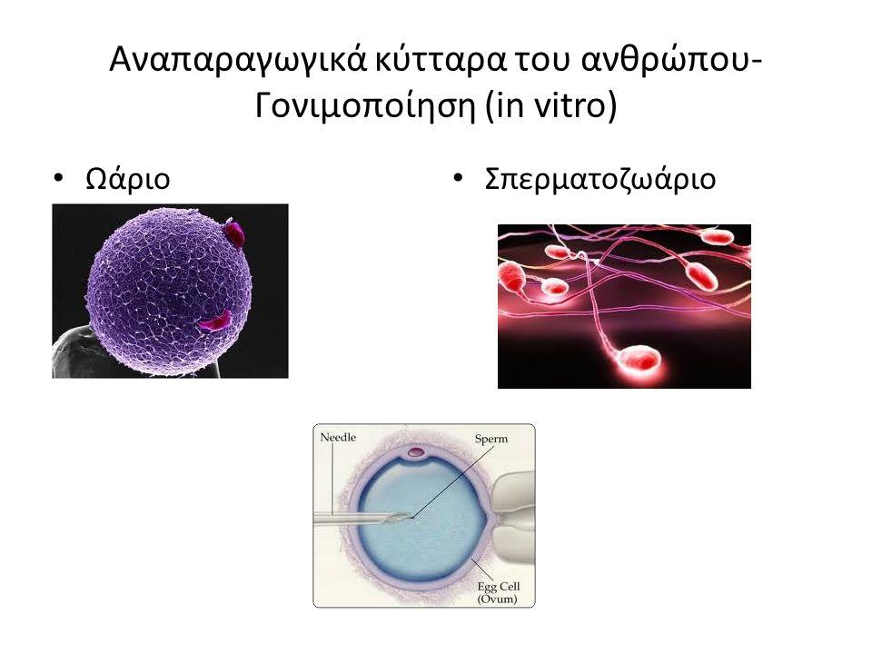 Αναπαραγωγικά κύτταρα του ανθρώπου-Γονιμοποίηση (in vitro)